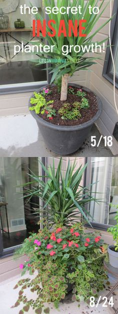 I need to try this fertilizer! Such gorgeous growth in these summer container planters.