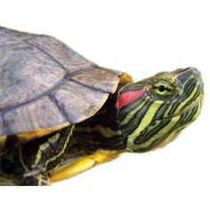 Red+Ear+Slider+-+Red+Ear+Sliders+are+the+most+common+aquatic+turtle+pet+and+can+live+for+up+to+50+years+in+captivity. - http://www.petco.com/shop/en/petcostore/product/red-ear-slider