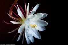 Epiphyllum Oxypetalum by Rodrigo López Castellanos on 500px