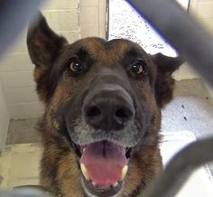 "A handsome German shepherd named ""Rocky"" is listening and watching for his owner from behind the bars of his kennel run at the Carson Animal Services facility in Gardena, California. Unfortunately, the five-year-old dog will not see that person again because Rocky was given up…his owner told staff at the animal control agency that they …"