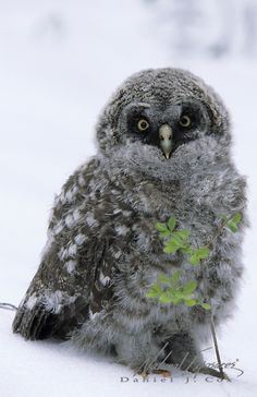 Great Gray Owl chick!