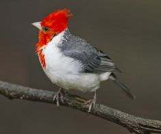 *RED-CRESTED CARDINAL ~ by Chong Lip Mun, via Flickr