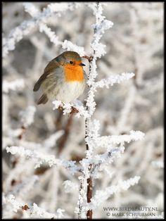 Roodborst, Erithacus rubecula, Robin