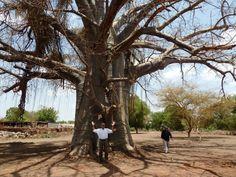 Amazing tree in Juba, , Southern Sudan
