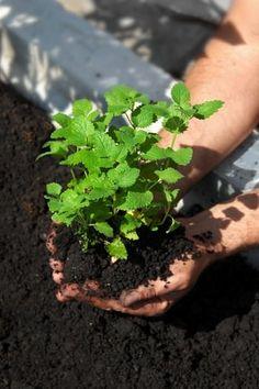La mélisse un répulsif 100 naturel Horticulture, Herbs, Spring Garden, Plants, Garden, Vegetable Garden, Little Garden, Creative Gardening, Healthy Plants