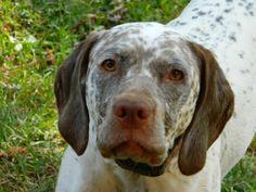 Braque Du Bourbonnais, Hunter Dog, Fur Babies, Labrador Retriever, Pitbulls, Hunting, Bird, Dogs, Animals