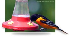 Cool Bird Fact #3: Baltimore Oriole at Hummingbird Feeder