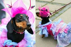 From the 5th annual Dachshund parade in St. Petersburg