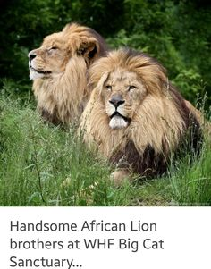 Handsome African Lion Brothers At WHF Big Cat Sanctuary.