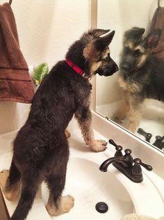 Wicked Training Your German Shepherd Dog Ideas. Mind Blowing Training Your German Shepherd Dog Ideas. Gsd Puppies, Cute Puppies, Cute Dogs, German Shepherd Puppies, German Shepherds, Malinois, Silly Dogs, Loyal Dogs, Husky