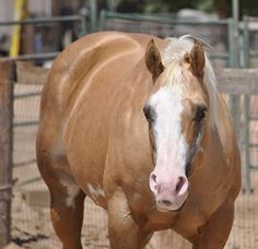 Double papered AQHA/APHA palomino overo halter horse