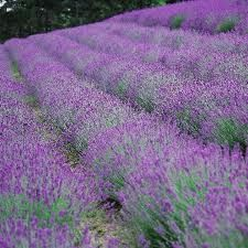 Spectacular lavender fields of Provence