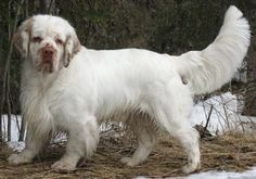 Clumber Spaniel - Click image to find more Animals Pinterest pins