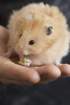 Teddy Hamster, Bear Hamster, Cute Baby Animals, Animals And Pets, Animal Pictures, Cute Pictures, Funny Hamsters, Stuart Little, Syrian Hamster