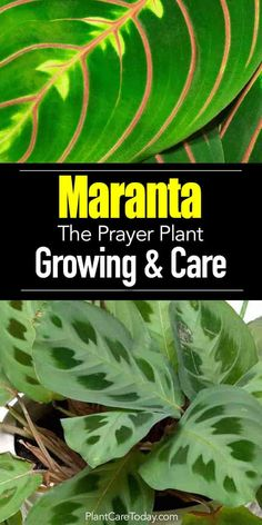 Prayer Plant - the Maranta fold their leaves upward like praying hands giving the plant its common name of prayer plant.