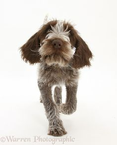 Dog: Brown Roan Italian Spinone pup, Riley, 13 weeks old, trotting forward.