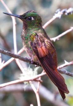Foto beija-flor-rubi (Clytolaema rubricauda) por João Menezes | Wiki Aves - A Enciclopédia das Aves do Brasil