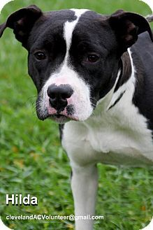 URGENT!!! HILDA (gorgeous beauty queen waiting for TLC) Cleveland, OH - Pit Bull Terrier Mix. Meet Hilda-Urgent!, a dog for adoption. http://www.adoptapet.com/pet/11785829-cleveland-ohio-pit-bull-terrier-mix
