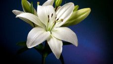 Lily Flower Images Hd Photos - Flower and Garden Photo Flower Images Hd, Lily Images, Lily Pictures, Lily Wallpaper, White Wallpaper, Flower Wallpaper, Cool Wallpaper, White Lily Flower, White Lilly