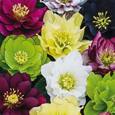 """Fluffy Ruffles Double Helleborus Mix Large, double blooms, up to 3"""", will be the first to welcome spring to your garden. Each vigorous plant produces a different color, blooming for up to three months from late winter through early spring. Rich, evergreen foliage provides year-round interest and is perfect along shady pathways. Space 20-24"""" apart in full to partial shade. Grows 18-20"""" tall"""