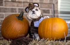 DOGS! Ragnar as Star Wars' Wicket - ready for fall; ready for Halloween!
