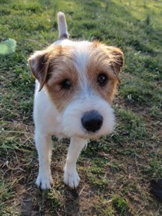 Rusty is a very sweet, loving, playful rough-coat JRTCA-pedigreed Jack Russell who is looking for a loving forever home. Although 10 years old, Rusty has a lot of energy and still loves to chase squirrels and hunt field mice. He absolutely loves...