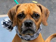 TO BE DESTROYED - 9/22/14 Manhattan Center   My name is MUFASA. My Animal ID # is A1013963. I am a male tan and white pug mix. The shelter thinks I am about 5 YEARS old.  I came in the shelter as a STRAY on 09/13/2014 from NY 11375, owner surrender reason stated was STRAY. https://m.facebook.com/photo.php?fbid=874340689245478&id=152876678058553&set=a.611290788883804.1073741851.152876678058553&source=43