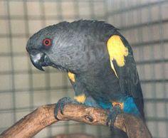 Ruppell Parrot