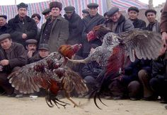Cock fighting in Central Asia. - Cruel sport in a cruel environment.