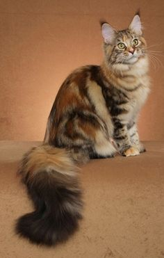 Maine Coon Cat N Kittens of Cascade Mountain Main Coons