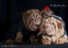 shar pei puppies Of Exclusive and Limited Edition - Qi Ming Xing shar pei kennel - Álbumes web de Picasa