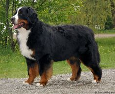I had a dog it would be: a bernese mountain dog | dog-breeds - B - Bernese Mountain Dog - Page 20