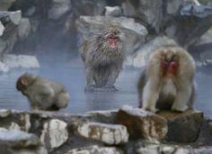 北海道 Hokkaido 地狱谷野猿公苑 Jigokudani Monkey Park,一只 雪猴 Snow Monkey 蹲坐在温泉池中的岩石上,日本 Japan 长野县 Nagano。雪猴是一种仅分布于日本北部的猕猴,是除人类外栖息地最北的灵长动物,能够在零下15摄氏度的严寒天气中生存。摄影师:Yuya Shino