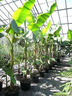 Architectural_plants : Musa basjoo