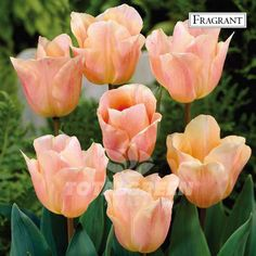 This Tulip is one with several special colors. Its petals are empire-rose and apricot-salmon and this flower is mildly fragrant. Variety Single Early Tulip Flower Period Mid Spring Flowering Height 16