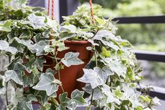 English Ivy Care Plant - How to Grow & Maintain English Ivies   Apartment Therapy Colorful Plants, Cool Plants, Air Plants, Agave Attenuata, Oxygen Plant, Best Air Purifying Plants, Plantas Indoor, Air Cleaning Plants, Plants For Hanging Baskets