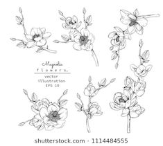 Magnolia flower and leaf drawings. Black and white with line art on white backgrounds. - Buy this stock vector and explore similar vectors at Adobe Stock Flor Magnolia, Magnolia Flower, Botanical Drawings, Botanical Illustration, Mini Mundo, Flower Line Drawings, Cosmos Flowers, Rose Flowers, Leaf Drawing
