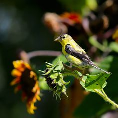 Sunflowers and gold finches