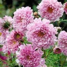 Double Click 'Rose Bon Bon'  Croptions for Orlaya Flowers www.orlayaflowers.com
