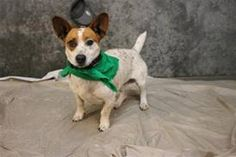SKY has 3 Day(s) Left to Live! Sky Breed: Jack Russell Terrier Age: Young adult Gender: Male Size: Small, Shelter Information: Greenville County Animal Care Services 328C Furman Hall Road Greenville, SC Shelter dog ID: 18884636 Contacts: Phone: na Name: Lauren email: petrescue@greenvillecounty.org  About Sky: ANIMAL ID: 18884636 BREED: JRT SEX: male EST. AGE: 2 yr Est Weight: 25 lbs HEALTH: appears healthy- hw neg TEMPERAMENT: dog friendly- people friendly, not high energy- very sweet girl…