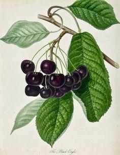 Black Eagle Cherries