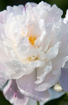 White Peony Petals   henrydomke.com