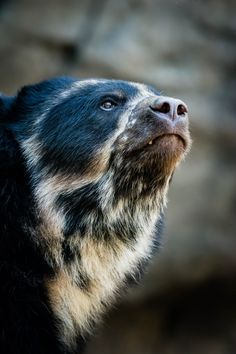 "I so loved paddington as a child! sdzoo: Andean bears are the only bears found in South America. Since literature's Paddington Bear came from ""darkest Peru,"" he would have been an Andean bear. Nature Animals, Animals And Pets, Baby Animals, Funny Animals, Cute Animals, Beautiful Creatures, Animals Beautiful, Ours Paddington, Urso Bear"