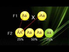 Leyes de Mendel: Segunda Ley - YouTube