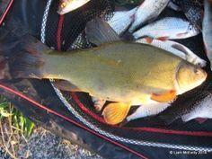 tench Coarse Fishing, Fishing Adventure