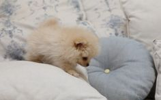 Pomeranian puppy. So cute!!!!!