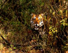 """""""Bengali Tiger Emerging From Jungle"""" by David Scolnick: While in Kanha National Park on a Natural Habitat journey with our guide Harsha we came across this male tiger emerging from the jungle, and he proceeded to follow us for about 10 minutes."""