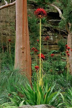 I LOVE GYMEA LILLIES!!! -Doryanthes excelsa - extraordinary plant to come across in the bush when it's in full bloom.