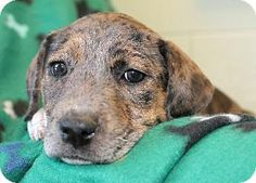 Prattville, AL - Catahoula Leopard Dog/Labrador Retriever Mix. Meet Ava 20058 a Puppy for Adoption.