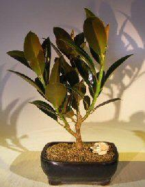 Burgundy Bonsai Tree( Ficus Elastica 'Burgundy')